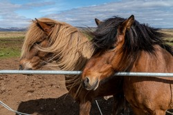The very friendly Icelandic horses in high winds
