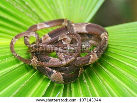stock-photo-the-very-slender-blunt-headed-tree-snake-imantodes-cenchoa-from-costa-rica-coiled-on-a-tropical-107145944.jpg