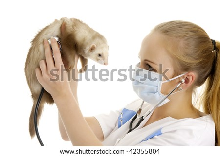 The veterinary surgeon examines a polecat. Isolated.