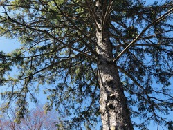 The Vibrance in a Pine Tree