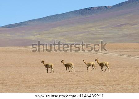 The vicuna family runs along the mountainside. Bolivia. #1146435911