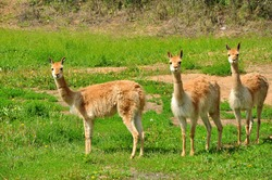 The vicuna is a wild, cloven-hoofed animal that lives in the Andes. The vicuna is smaller than its relatives, the llama and the guanaco.
