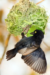 The Vieillot's black weaver (Ploceus nigerrimus) sits at the nest. A large black weaver with a yellow eye begins to weave a nest of green blades of grass.