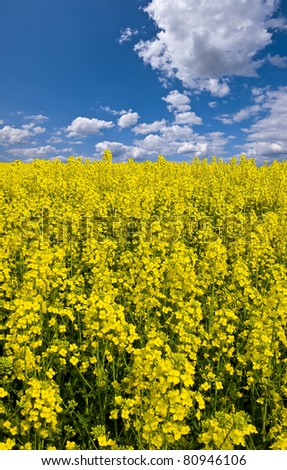 the view across a bright yellow filed of canola or oilseed rape with a bright sunny blue sky beyond in portrait format