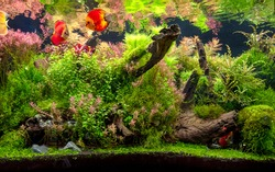 The view of freshwater aquarium with tropical fishes, discus (symphysodon) multi colored (cichlids) with aquatic plants, fish native to amazon river basin
