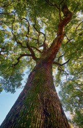 The view up to the crown of ancient camphor tree (Cinnamomum camphora) at the Imperial Palace garden. Tokyo. Japan