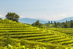 The vineyards of Buttrio in a summer day. Collio Friulano, Udine Province, Friuli Venezia-Giulia, Italy