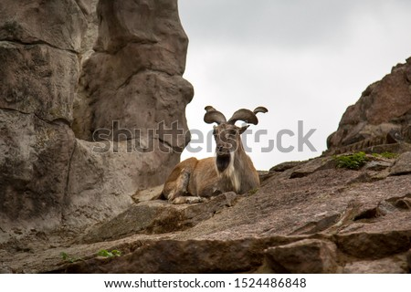 The vinthorned goat, Markhor, lies atop a mountain against a backdrop of rocks. Wildlife, mammals, fauna.