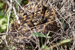 The viper is a venomous snake belonging to the family vipers (Viperidae). The snake is also called common viper, European viper, black viper.