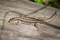 The viviparous lizard, or common lizard, (Zootoca vivipara) sits on an old dry log and bask in the sun.