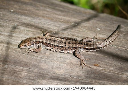The viviparous lizard, or common lizard, (Zootoca vivipara) sits on an old dry log and bask in the sun. Foto stock ©