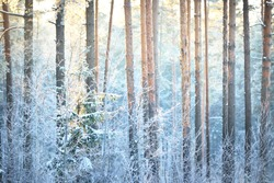 The wall of pine, spruce, juniper and birch trees in a coniferous forest at sunset. Golden evening sunlight glowing through the tree trunks. Winter wonderland. Finland