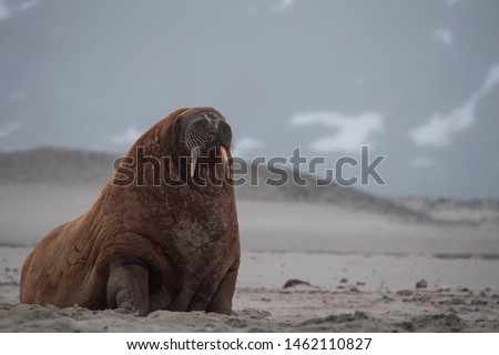The Walrus was hunted nearly to extinction in the Svalbard Archipelago.  It is legal for indigenous people to hunt walrus.  Populations of walrus are just recovering from over-hunting in Svalbard.