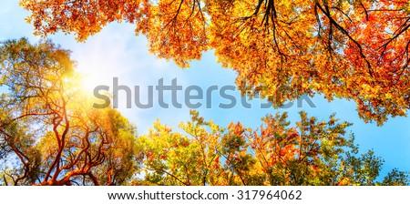 The warm autumn sun shining through golden treetops, with beautiful bright blue sky