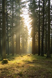 The warm  evening sunlight shining through the trees in a German forest in spring. Upright picture taken in the Taunus Region in Hesse Germany