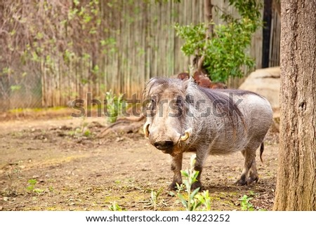 common warthog. common warthog. stock photo