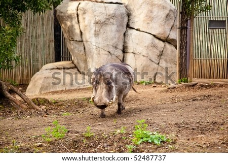 common warthog. stock photo : The Warthog or Common Warthog is a wild member of the pig