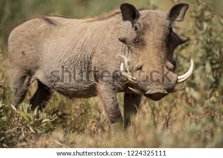 The warthog portrait