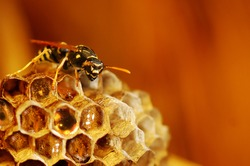 the wasp in a hornet's nest collects honey