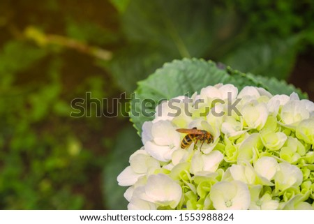 the wasp on hydrangea or hortensia with copy space, botany and entomology, ecology concept #1553988824