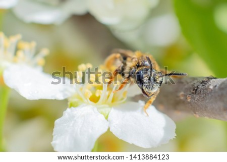 The wasp sits on a branch of a blossoming bird cherry. Summer closeup, insect closeup.