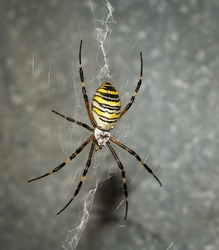The wasp spider (Argiope bruennichi). The one colorful wasp spider on the web.