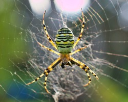 The wasp spider became spider of the year in 2001
