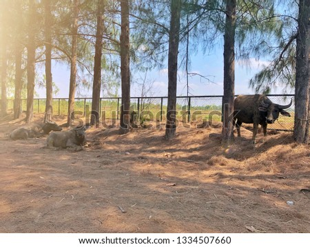 The water buffalo (Bubalus bubalis) or domestic water buffalo is a large bovid. A buffalo is standing and two buffaloes are sitting. The scene is pine trees.
