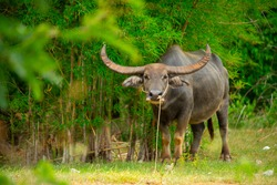 The water buffalo (Bubalus bubalis) or domestic water buffalo is a large bovid originating in the Indian subcontinent, Southeast Asia, and China.