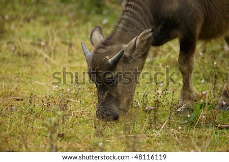 The water buffalo or domestic Asian water buffalo (Bubalus bubalis) is a large bovine animal