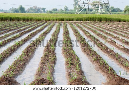 The water in the rows of the maize crop #1201272700
