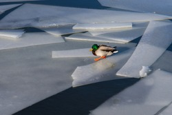 The Water Is Cold. A wild duck on river ice by the open water