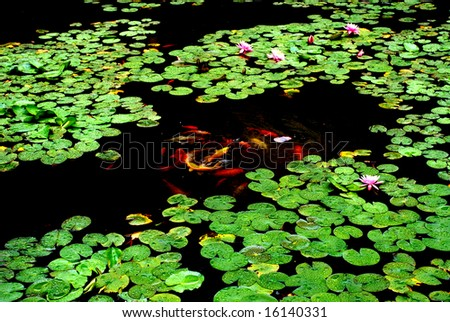 The water lily flower pond with colorful koi carps fish inside in the rain.