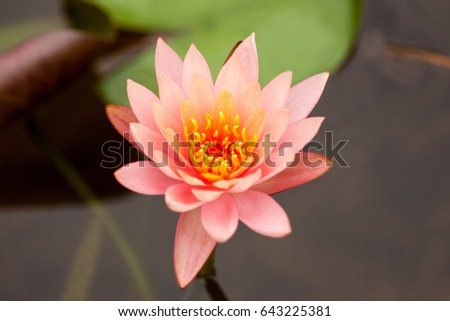 The water lily of the old pond is decorated with a colorful water lily,water plant with reflection in a pond.closeup water lily flower.