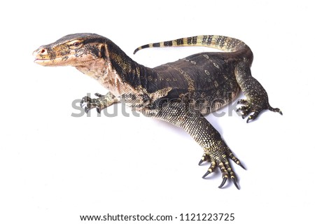 The water monitor (Varanus salvator) is a large lizard native to South and Southeast Asia. The Asian water monitor are among the largest lizards in the world #1121223725