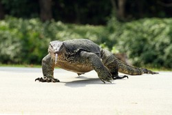 The Water monitor, (Varanus salvator) the large species of monitor lizard