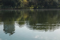 The water surface of the city pond with a floating duck. View of the pond on a sunny day with a reflection in the water.
