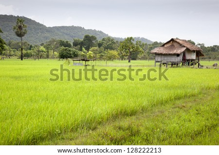 The way through the rice field. Don Khong. Si Phan Don. Laos