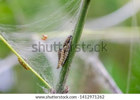 The web of webbing moths on a tree #1412971262
