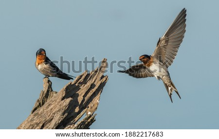 The welcome swallow (Hirundo neoxena) is a small passerine bird in the swallow family. It is a species native to Australia and nearby islands. Foto stock ©
