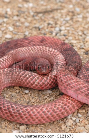 The western coachwhips from west Texas tend to have a bright pink or red coloration to them.