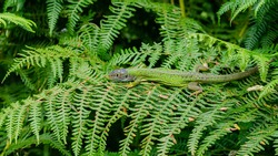 The western green lizard (Lacerta bilineata) is a wall lizard of the family Lacertidae.