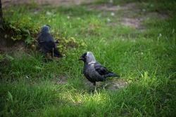 The western jackdaw Coloeus monedula, also known as the Eurasian jackdaw, European jackdaw, or simply jackdaw, is a passerine bird in the crow family.