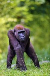 The western lowland gorilla (Gorilla gorilla) standing on a grassy hill. Young ape in captivity. Lowland gorilla in natural habitat.