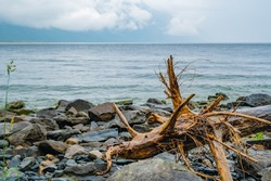 the wet root of an old snag of a sinking tree lies on the rocky shore of the lake in rainy foggy weather
