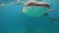 The whale shark is the largest fish in the ocean, a huge gentle giant-a filter of plankton.