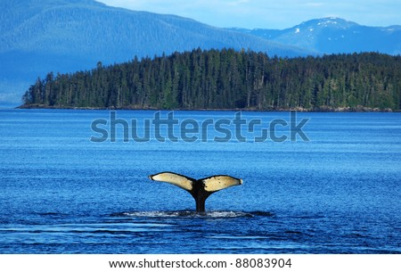 The whale shows the tail