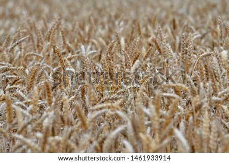 The wheat crop is ripe and crop areas will soon be harvested. - Image