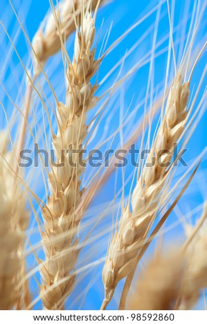 The wheat ears on a blue background