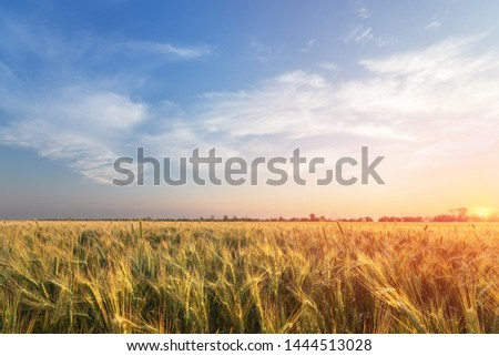 the wheat field the colors of paints / the nature of the early summer just before sunset #1444513028